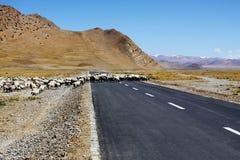 Carneiros que cruzam a estrada Fotos de Stock Royalty Free