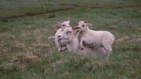 Carneiros que encontram-se no campo verde Seus dois cordeiros brancos que estão perto da mãe, jogando com seus chifres video estoque