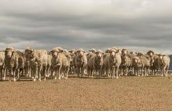 Carneiros que pastam em Austrália rural imagens de stock royalty free