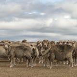 Carneiros que pastam em Austrália rural imagens de stock