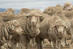 Carneiros que pastam em Austrália rural Fotografia de Stock Royalty Free