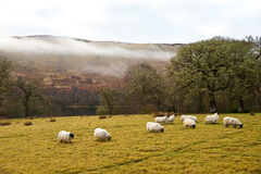 Carneiros que pastam em Scotland Fotos de Stock