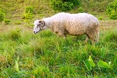 Carneiros que pastam em um campo verde Fotografia de Stock Royalty Free