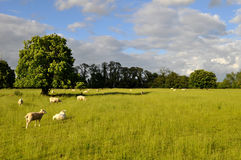Carneiros que pastam em um grande campo verde com árvores Fotos de Stock