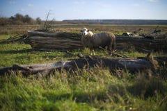 Carneiros que pastam em um pasto na vila Fotos de Stock Royalty Free