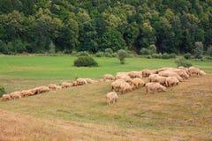 Carneiros que pastam na borda da floresta Imagem de Stock Royalty Free