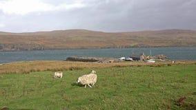 Carneiros que pastam na frente do porto de Milovaig, ilha de Skye - Escócia vídeos de arquivo