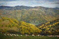 Carneiros que pastam nas montanhas - montanhas Carpathian fotos de stock
