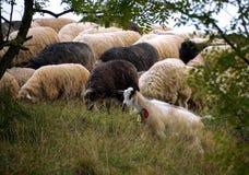 Carneiros que pastam nas montanhas Carneiros no prado verde da mola no estilo do vintage foto de stock