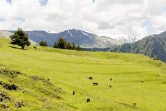 Carneiros que pastam no vale verde em montanhas de Cáucaso Ge?rgia, Tusheti imagem de stock