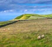 Carneiros que pastam nos prados da costa do norte de Devonshire Imagens de Stock Royalty Free