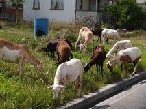 Carneiros que vagueiam a vizinhança em Antígua Fotografia de Stock