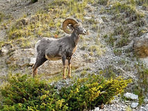 Carneiros Ram Buck Thinhorn do Big Horn Imagem de Stock