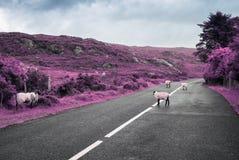 Carneiros roxos surreais que pastam na estrada em ireland fotografia de stock