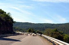 Carneiros running na estrada Imagens de Stock Royalty Free