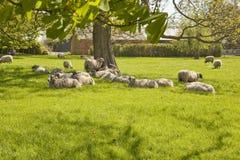 Carneiros satisfeitos em um pasto da mola Imagem de Stock Royalty Free