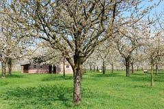 Carneiros sob árvores de fruta de florescência, Holland fotografia de stock