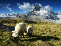 Carneiros sob Matterhorn, Suíça foto de stock royalty free