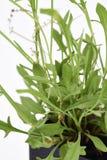 Carneiros Sorrel Fresh Imagem de Stock