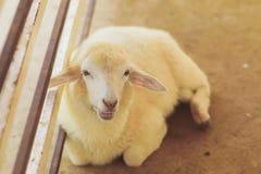 Carneiros sozinhos na exploração agrícola dos carneiros Fotografia de Stock Royalty Free