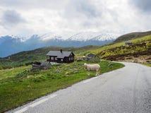 Carneiros típicos da paisagem do campo na estrada perto da casa noruega Fotos de Stock