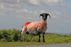 Carneiros vermelhos, Dartmoor, Cornualha, Inglaterra foto de stock