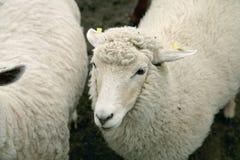 Carneiros wooly brancos Fotos de Stock Royalty Free