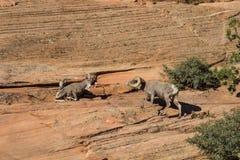 Carneros con grandes cuernos del desierto en celo Fotografía de archivo