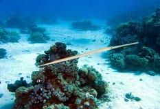 carnetfish Ερυθρά Θάλασσα fistularia commersonii Στοκ Φωτογραφία