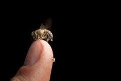 Carnica del mellifera de los apis de la abeja de la miel Foto de archivo libre de regalías