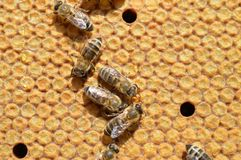 Carnica honey bees on combs