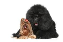 Carniche et chien terrier de Yorkshire Photographie stock