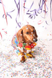 Carnival canine party. An dachshund enjoying the Carnival party Stock Photography