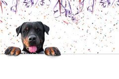 Carnival rottweiler message. Copy space Royalty Free Stock Images