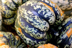 Carnival Squash, Cucurbita pepo. Popular cultivar with top shaped deeply furrowed fruits with variegated patterns, spots and stripes of green and orange royalty free stock images