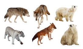 Carnivora mammals. Isolated over white Royalty Free Stock Photos