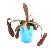 Carnivore plant  Nepenthes Stock Images
