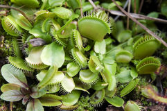 Carnivore plant: the Venus fly trap Stock Photography