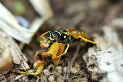 A Carnivore Wasp Munches on Remains of a Grasshopper Stock Photos