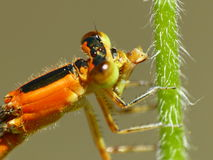 Carnivorous Damselfly Royalty Free Stock Photography
