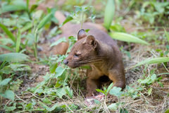 Carnivorous mammal Fossa Cryptoprocta ferox. Fossa Cryptoprocta ferox, cat-like, carnivorous mammal endemic to Madagascar, Fossa is biggest predator for lemurs Royalty Free Stock Image