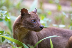Carnivorous mammal Fossa Cryptoprocta ferox. Fossa Cryptoprocta ferox, cat-like, carnivorous mammal endemic to Madagascar,  Fossa diet includes lemurs. Andasibe Royalty Free Stock Photography