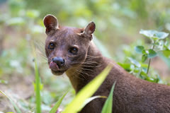 Carnivorous mammal Fossa Cryptoprocta ferox. Fossa Cryptoprocta ferox, cat-like, carnivorous mammal endemic to Madagascar,  Fossa diet includes lemurs. Andasibe Royalty Free Stock Images