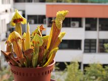 Carnivorous pitcher plant Stock Image