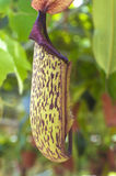 Carnivorous pitcher plant Royalty Free Stock Photo