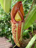 Carnivorous Pitcher Plant Closeup. Red and green carnivorous pitcher plant which preys on insects, trapping them inside its tubular body. Nepenthes species Stock Photography