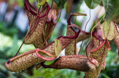Carnivorous pitcher plant with pitchers Royalty Free Stock Image