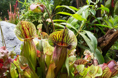 Carnivorous pitcher plant Sarracenia trap Stock Photography