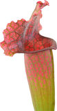 Carnivorous Plant. Pitcher Plant From The Families Nepenthaceae and Sarraceniaceae Isolated On White Royalty Free Stock Photos