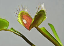 Carnivorous plant. Leaf of carnivorous plant with digested mosquito Stock Photography